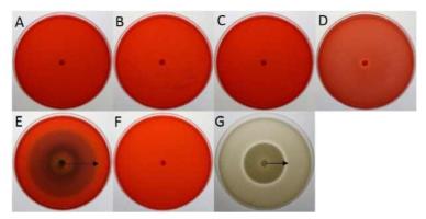 산조 701호의 세포외효소 활성 비교.