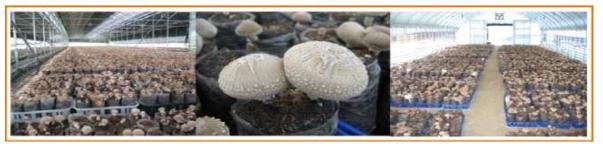 지면봉지재배법