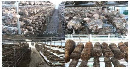 수입산 톱밥배지 재배 실태조사
