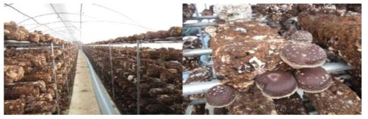 균상재배 재배현황(재배기간 10월-4월, 가을-봄 재배시)