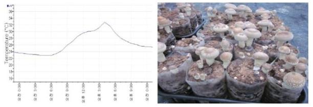 일반재배사 온도변화에 따른 버섯품질