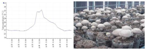 개선형재배사 온도변화에 따른 버섯품질