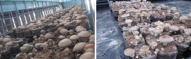하절기 재배기간 버섯발생 모습(좌: 개선형재배사, 우: 일반재배사)