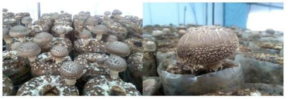 표면건조 환경처리를 통한 표고버섯 품질향상