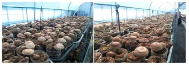 재배기간 버섯발생 모습(좌:참아람, 우:산조707호)