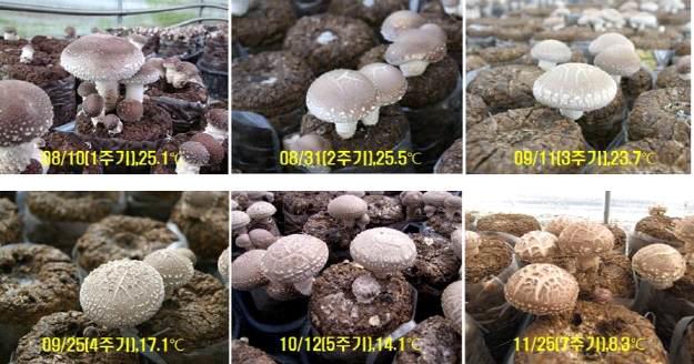 온도별 버섯사진