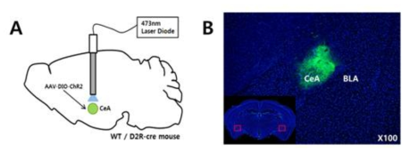 정상쥐와 D2R-Cre쥐의 CeA에 AAV-DIO-ChR2-EYFP 주입 및 광학 캐뉼라 이식 수술 후 CeA에서 ChR2의 발현 확인.
