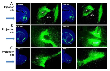 CeA 지역의 ChR2가 발현되는 D2R 신경세포는 BNST와 VTA, SNc 지역으로 신경돌기를 전사하고 있음.