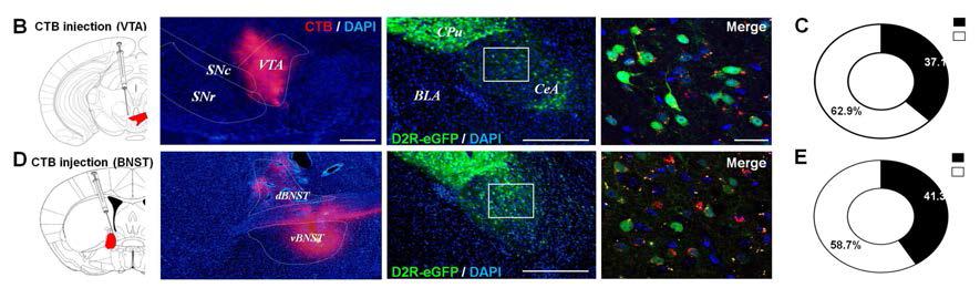 CeA의 D2R positive 뉴런이 VTA와 BNST로 전사되고 있음을 retrogradal tracer 인 Cholera toxin B (CTB) (red 신호)를 각각 D2R-EGFP mice의 VTA (B-B), 혹은 BNST (D-E)에 주입하여 확인.