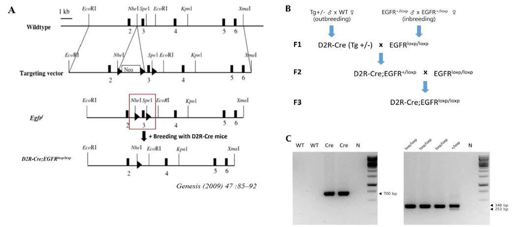 D2R expression cell에서의 EGFR KO mice 제작.