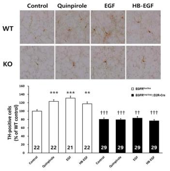 정상 쥐와 조건적 유전자 결손 쥐에서 도파민성 신경세포의 분화를 관찰함.