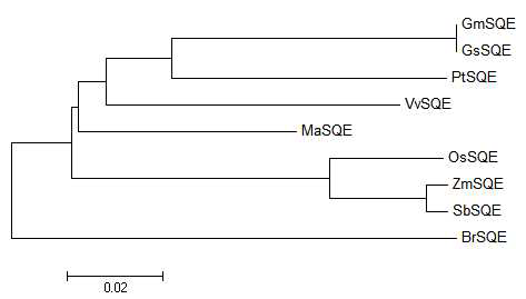 Phylogenic tree of MaSQE and some of its homologues.