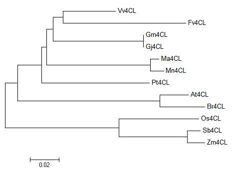 Phylogenic tree of MaC4H and some of its homologues.