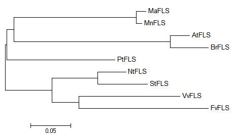 Phylogenic tree of MaFLS and some of its homologues.