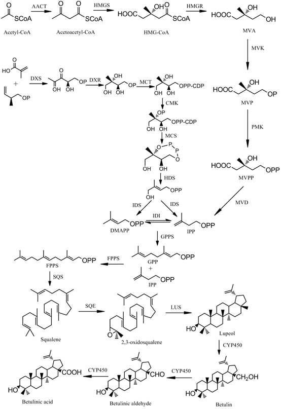 Schematic of triterpene biosynthesis.