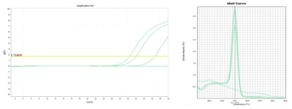 Amplification plot and melt curve for B. cereus in sprout after enrichment.