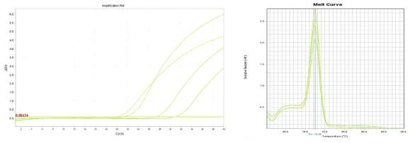 Amplification plot and melt curve for S. aureus in lettuce after enrichment.