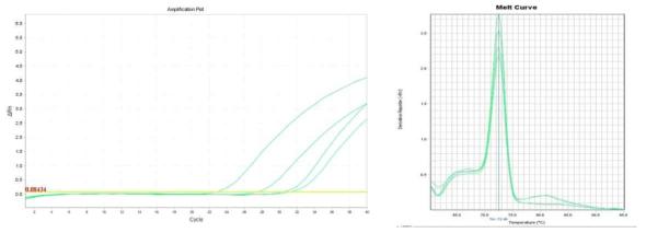 Amplification plot and melt curve for S. aureus in sprout after enrichment.