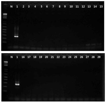 Staphylococcus aureus 프라이머의 exclusivity test