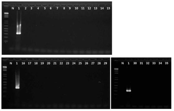 Bacillus cereus 프라이머의 exclusivity test