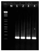 Shigella spp. 프라이머의 inclusivity test