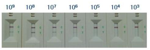 E. coli O157 kit의 검출한계 테스트