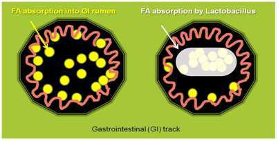 지방산제거 유산균의 작용기전 (MOA)