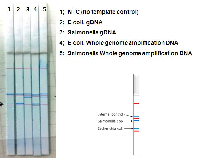Chromato strip을 이용한 salmonella 및 E coli. 균의 확인
