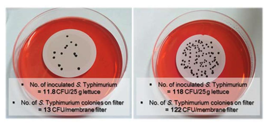 Filtering 농축에 의한 양상추 내 S. Typhimurium 농축과 선택배지 배양에 의한 S. Typhimurium의 선별적 검출