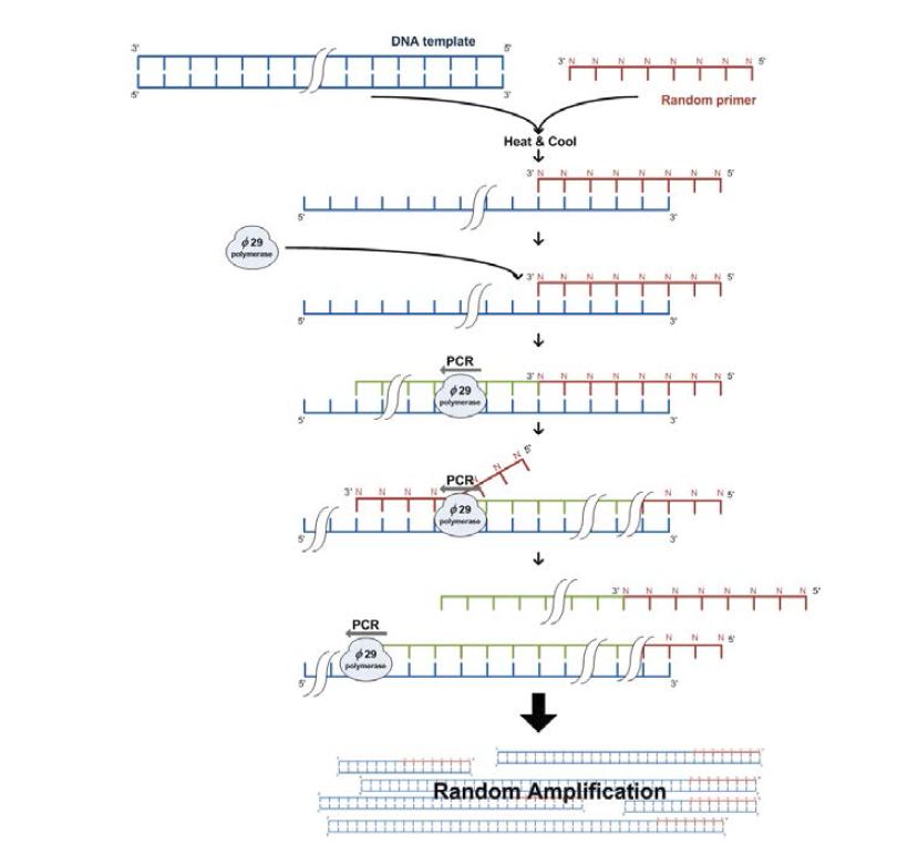 Whole genome amplification (WGA)에 의 한 DNA 증폭