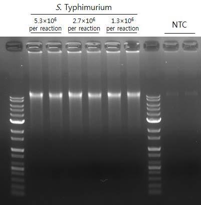 S. Typhimurium whole genome 증폭을 위한 WGA 키트 적용과 전기영동 결과