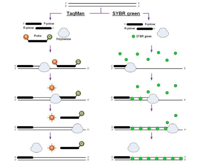 TaqMan 및 SYBR green 방법의 Q-PCR의 workflows