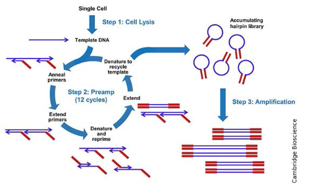 Whole genome amplification의 증폭 과정