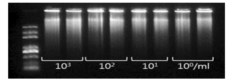 E. coli O157:H7의 DNA 농도 별 WGA 증폭 양상