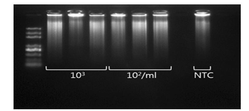 103~102/mL의 E. coli O157:H7의 WGA 증폭 양상