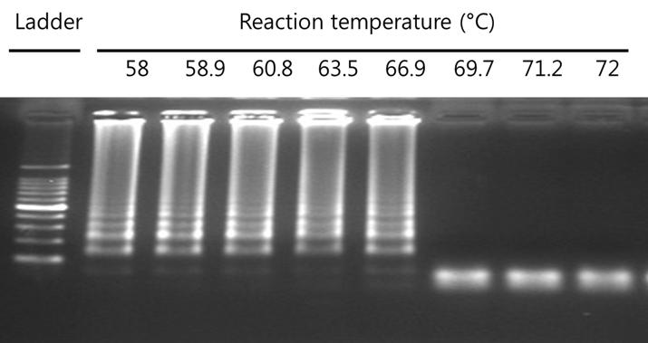 E. coli O157:H7의 DNA의 온도에 따른 LAMP 증 폭과 결과산물의 전기영동