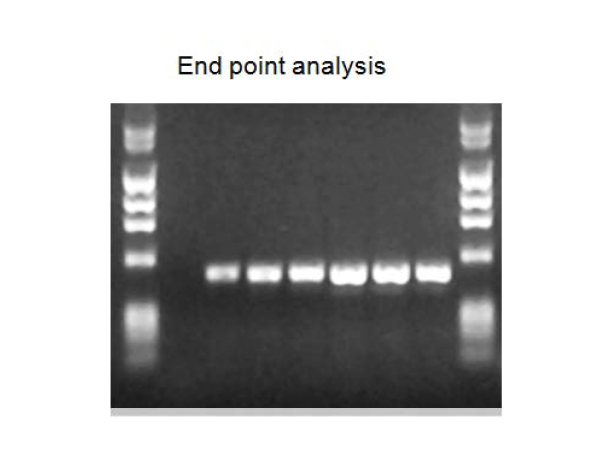 전통적 정성 분석 PCR