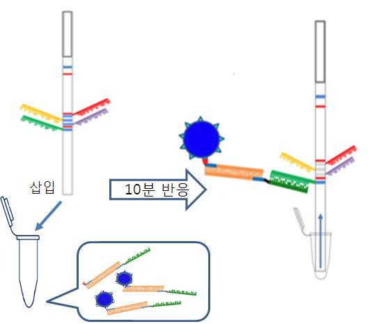 Chromato strip과 PCR amplicon의 반응 모식도