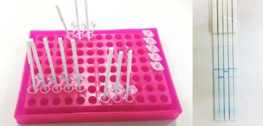 PCR 반응 생성물과 strip의 반응 및 해당 박테리아 의 검출