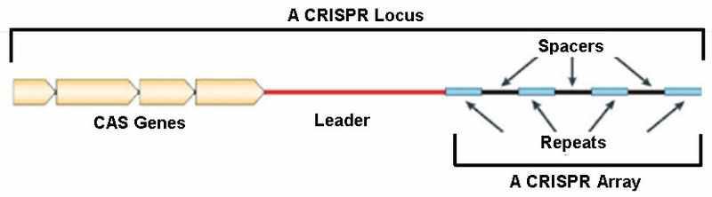 CRISPR 유전자좌의 일반적인 구조