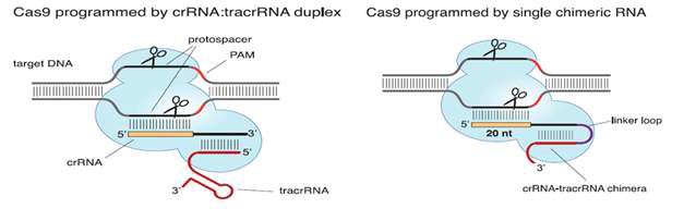CRISPR/Cas9 시스템에서 guide RNA로 사용되는 tracrRNA와 crRNA 부위의 chimera 모식도