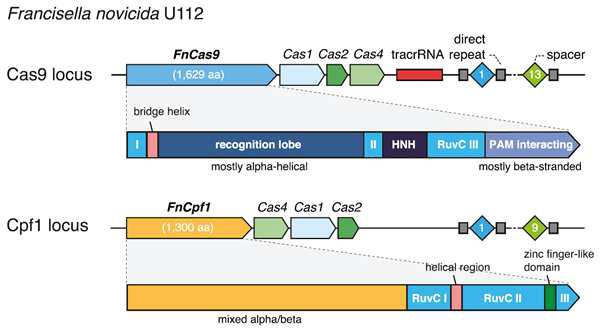 Cas9과 Cpf1 locus 모식도