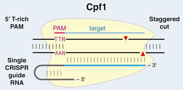 Cpf1의 모식도