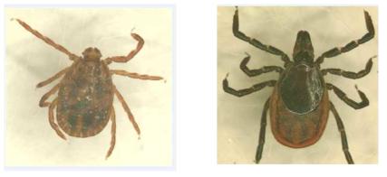좌: Haemaphysalis longicornis(작은소피참진드기), 우: Ixodes nipponensis(일본참진드기)