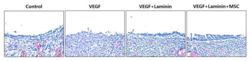 개발된 지지체의 기능학적 재생을 확인하기 위한 ciliated cells 관찰