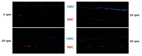Bioreactor 회전 속도별 기관지지체 내 도말 세포의 분포 확인