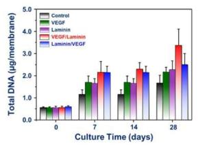 기관재생 유도관 내 점착된 근육줄세포의 DNA 정량분석 결과