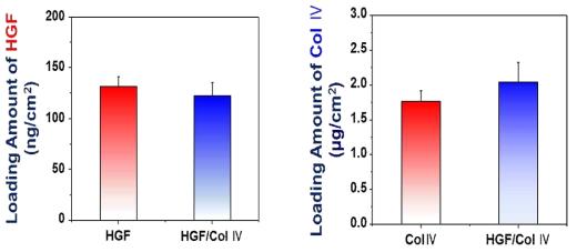 기관재생유도관에 탑재된 생리활성물질 (HGF와 collagen IV)의 양