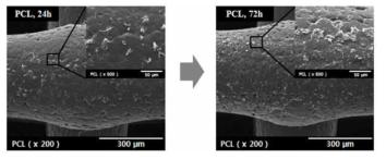 PCL 스캐폴드의 세포 실험 결과 (24시간,72시간)
