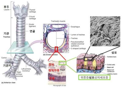 기관의 구조. 기관의 골격은 기관 연골에 의해 유지되며 기관의 기능은 기관 점막으로 유지됨